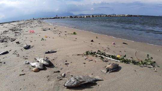 Cá chết hàng loạt dạt vào bờ trên bãi biển Đà Nẵng - ảnh 3