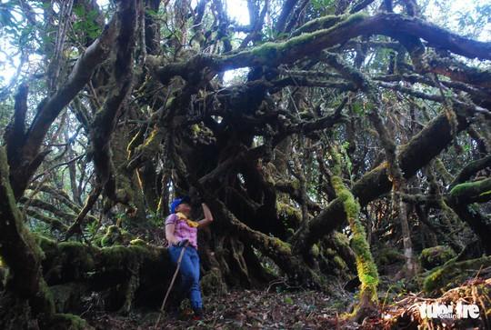 Khám phá rừng đỗ quyên cổ trên đỉnh Trường Sơn - Ảnh 1.