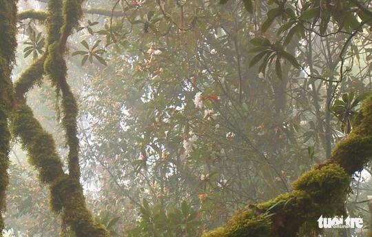 Khám phá rừng đỗ quyên cổ trên đỉnh Trường Sơn - Ảnh 2.