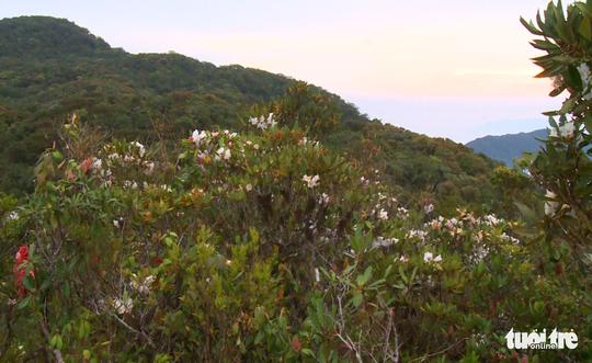 Khám phá rừng đỗ quyên cổ trên đỉnh Trường Sơn - Ảnh 5.