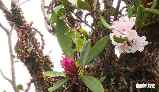 Khám phá rừng đỗ quyên cổ trên đỉnh Trường Sơn - Ảnh 10.
