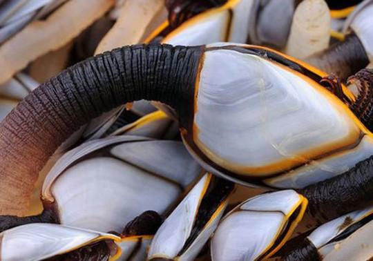 Loại ốc biển xấu xí 3 triệu/con, nhà giàu muốn mua không có - Ảnh 1.