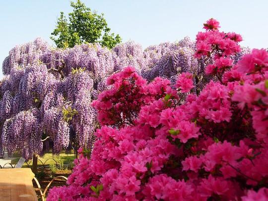 Thiên đường hoa tử đằng nở rộ ở Nhật Bản - Ảnh 1.