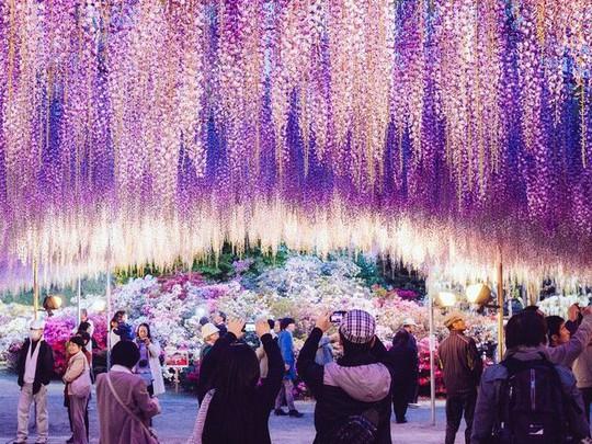 Thiên đường hoa tử đằng nở rộ ở Nhật Bản - Ảnh 9.