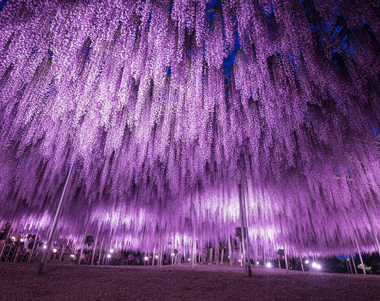 Thiên đường hoa tử đằng nở rộ ở Nhật Bản - Ảnh 2.
