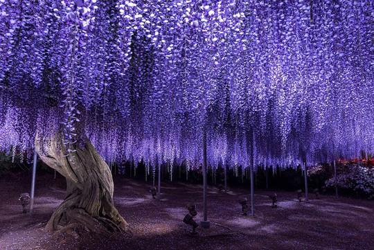 Thiên đường hoa tử đằng nở rộ ở Nhật Bản - Ảnh 3.