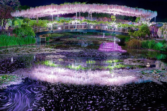 Thiên đường hoa tử đằng nở rộ ở Nhật Bản - Ảnh 4.