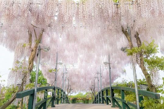 Thiên đường hoa tử đằng nở rộ ở Nhật Bản - Ảnh 5.