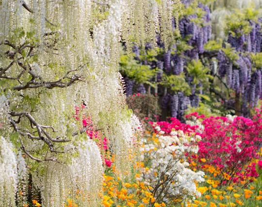 Thiên đường hoa tử đằng nở rộ ở Nhật Bản - Ảnh 6.