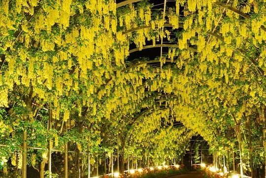 Thiên đường hoa tử đằng nở rộ ở Nhật Bản - Ảnh 7.
