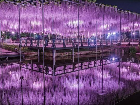 Thiên đường hoa tử đằng nở rộ ở Nhật Bản - Ảnh 8.
