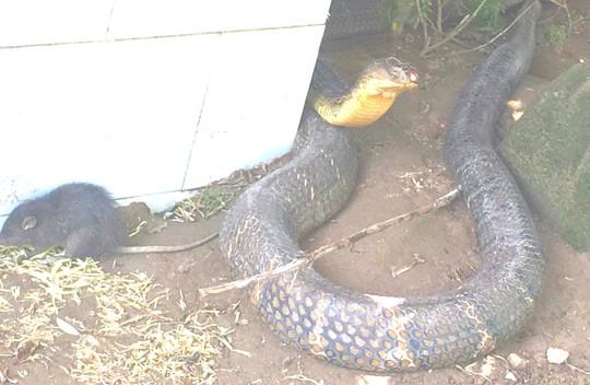 An Giang tìm nhà mới cho 2 con rắn hổ mây khủng - Ảnh 1.