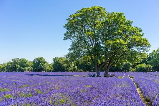 Những cánh đồng lavender nổi tiếng thế giới - Ảnh 1.