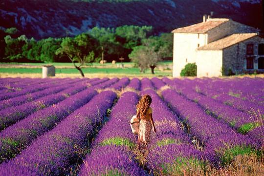 Những cánh đồng lavender nổi tiếng thế giới - Ảnh 2.