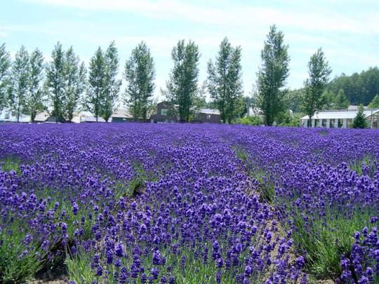 Những cánh đồng lavender nổi tiếng thế giới - Ảnh 3.