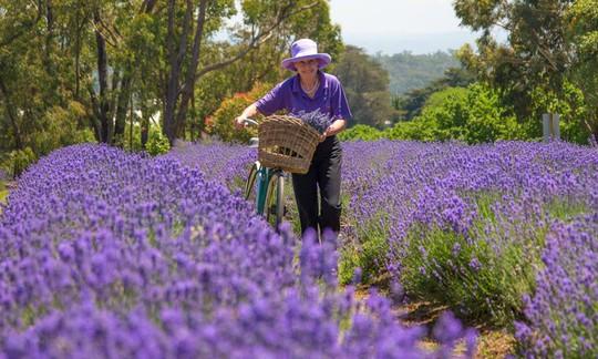 Những cánh đồng lavender nổi tiếng thế giới - Ảnh 5.
