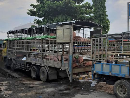 Phát hiện xe tải chở heo chết nhiễm dịch tả châu Phi vẫn đem đi bán - Ảnh 1.