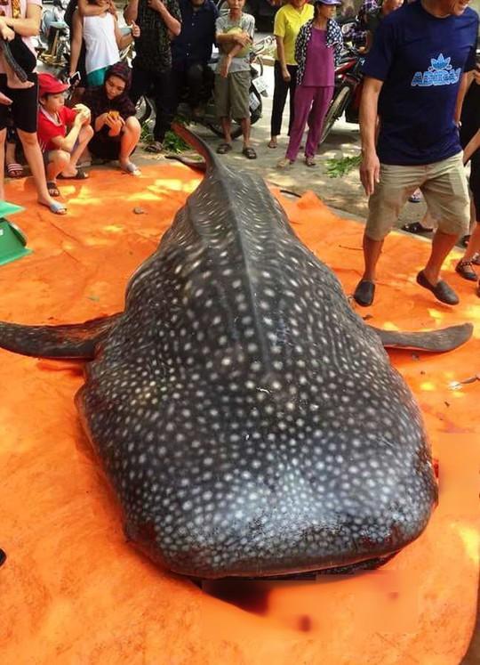 Thực hư việc ngư dân Sầm Sơn xẻ thịt cá voi nhám quý hiếm nặng gần 1 tấn - Ảnh 1.