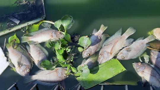 Đà Nẵng: Cá chết nổi lềnh bềnh trên hồ Thạc Gián là do… nắng nóng? - Ảnh 4.