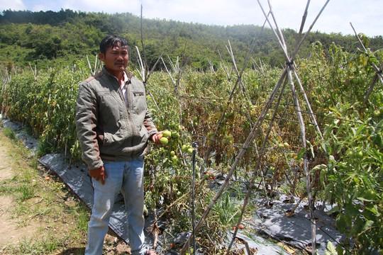 Xót xa hơn 3 ha cà chua chết rũ nghi bị kẻ xấu hạ độc - Ảnh 2.