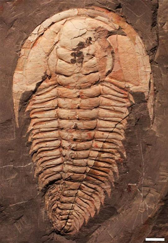 Quái vật bạo chúa 500 triệu năm xuất hiện nguyên vẹn tại Úc - Ảnh 2.
