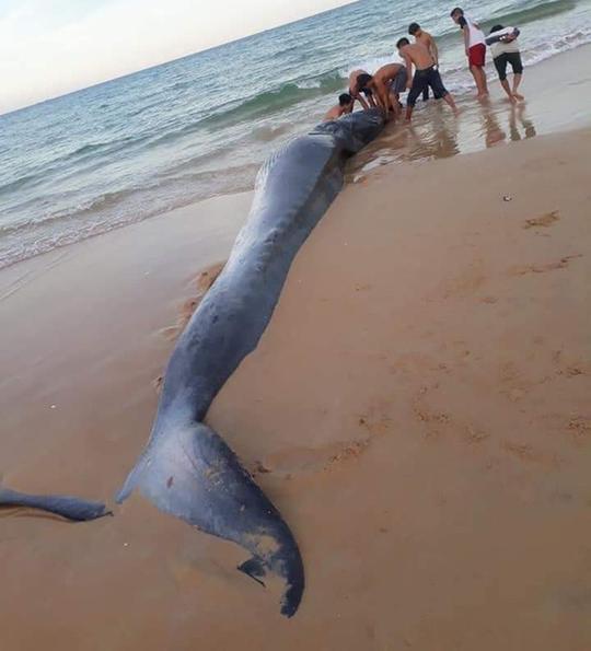 Xác cá Ông hơn 2 tấn dạt vào bờ biển phía Bắc Khánh Hoà - Ảnh 2.