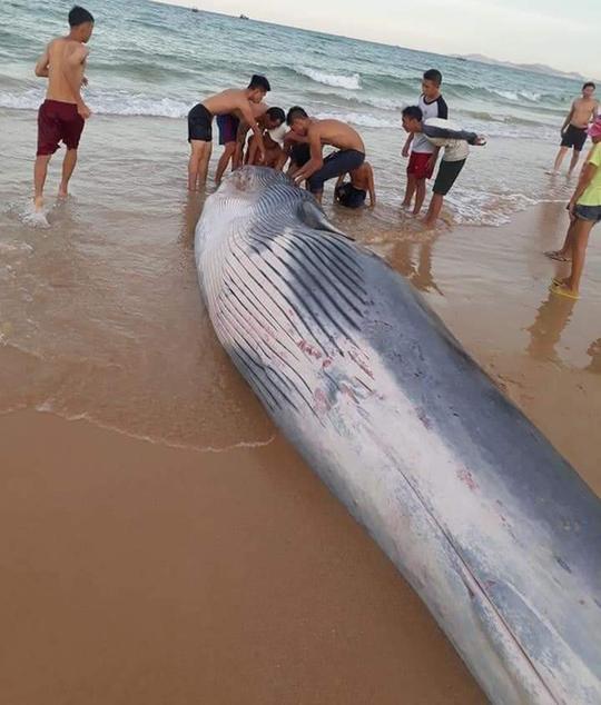 Xác cá Ông hơn 2 tấn dạt vào bờ biển phía Bắc Khánh Hoà - Ảnh 1.