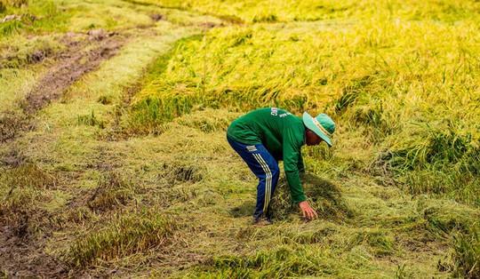 Cánh đồng lúa An Giang vào mùa gặt - Ảnh 4.