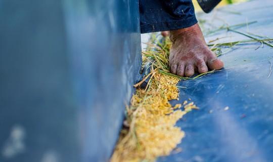 Cánh đồng lúa An Giang vào mùa gặt - Ảnh 6.