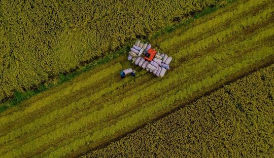 Cánh đồng lúa An Giang vào mùa gặt - Ảnh 7.