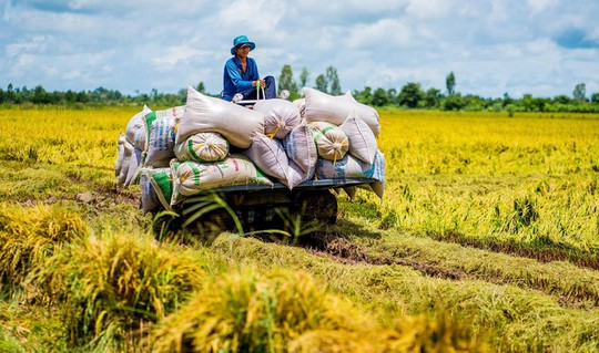 Cánh đồng lúa An Giang vào mùa gặt - Ảnh 8.