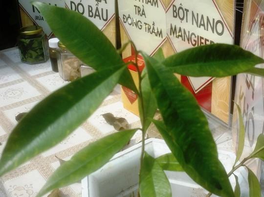 Tách thành công chất kháng ung thư từ lá cây dó bầu - Ảnh 1.