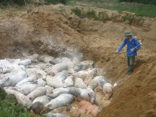 Đưa đi tiêu thụ hàng chục con heo bị dịch tả heo châu Phi - Ảnh 1.