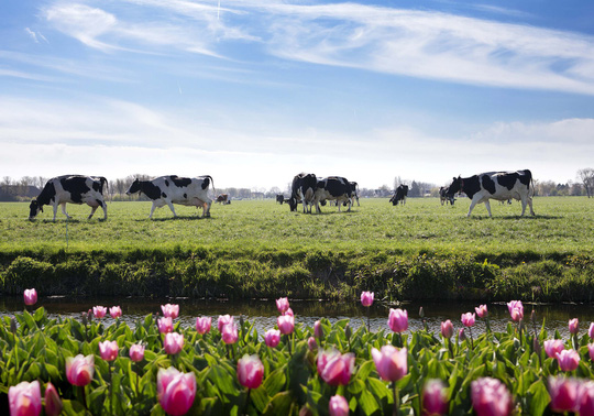Nông trại của nông dân Cô Gái Hà Lan: Diện tích mỗi nông trại bằng 140 sân vận động - Ảnh 2.