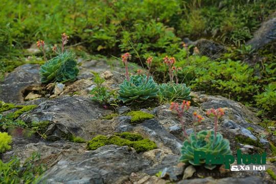 Hoa sen đá kì ảo trên đỉnh Fansipan - Ảnh 2.