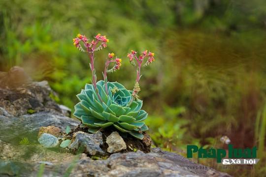 Hoa sen đá kì ảo trên đỉnh Fansipan - Ảnh 3.