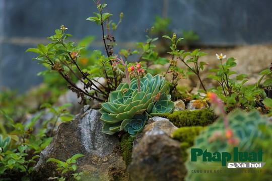Hoa sen đá kì ảo trên đỉnh Fansipan - Ảnh 5.
