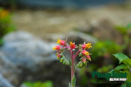 Hoa sen đá kì ảo trên đỉnh Fansipan - Ảnh 6.