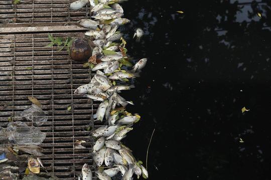 Sau khi xả nước hồ Tây vào sông Tô Lịch, thấy cá chết hàng loạt - Ảnh 1.