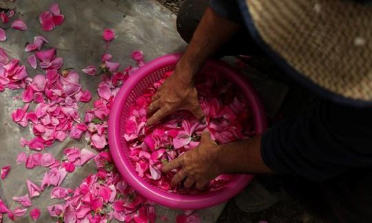 Người Syria hồi sinh bằng hạt giống vua của các loài hoa hồng - Ảnh 1.