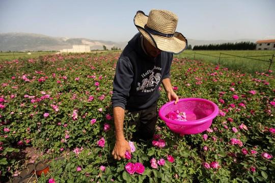 Người Syria hồi sinh bằng hạt giống vua của các loài hoa hồng - Ảnh 2.