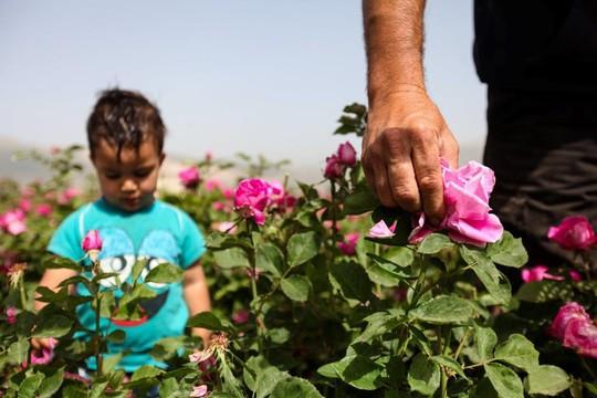 Người Syria hồi sinh bằng hạt giống vua của các loài hoa hồng - Ảnh 3.