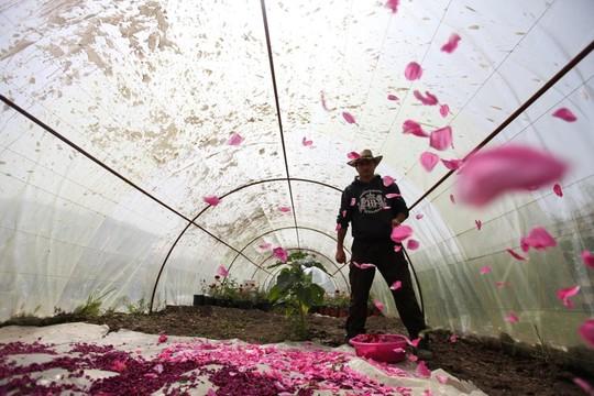 Người Syria hồi sinh bằng hạt giống vua của các loài hoa hồng - Ảnh 5.