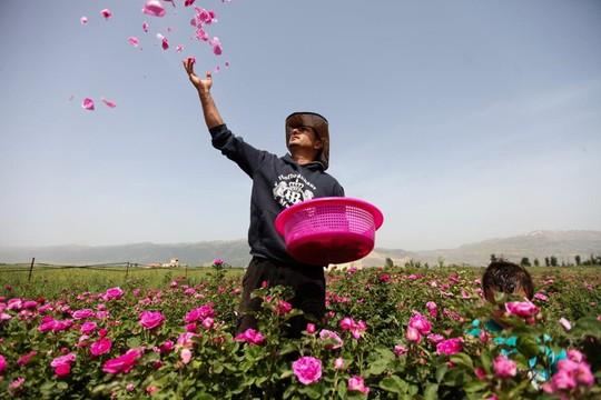 Người Syria hồi sinh bằng hạt giống vua của các loài hoa hồng - Ảnh 8.