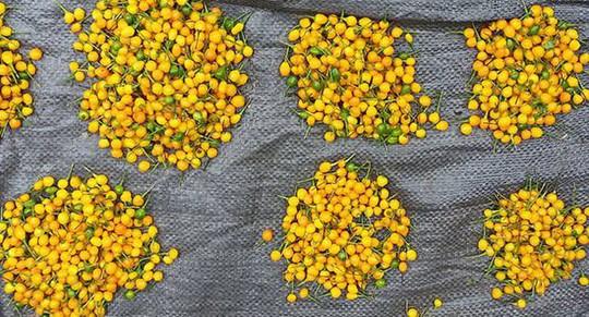 Ớt Aji Charapita mọc hoang dại nhưng có giá hơn nửa tỉ đồng/kg - Ảnh 11.