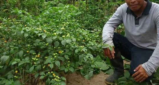 Ớt Aji Charapita mọc hoang dại nhưng có giá hơn nửa tỉ đồng/kg - Ảnh 5.