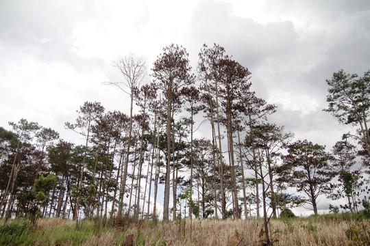 Rừng thông Lâm Đồng tiếp tục bị đầu độc, chết đứng - Ảnh 1.