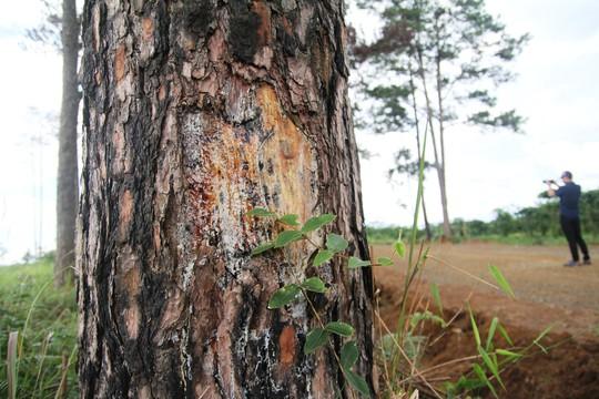 Rừng thông Lâm Đồng tiếp tục bị đầu độc, chết đứng - Ảnh 5.