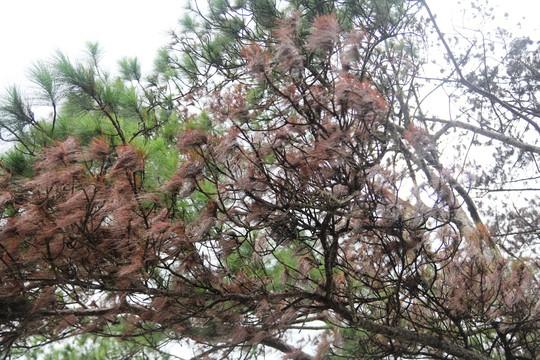 Rừng thông Lâm Đồng tiếp tục bị đầu độc, chết đứng - Ảnh 6.