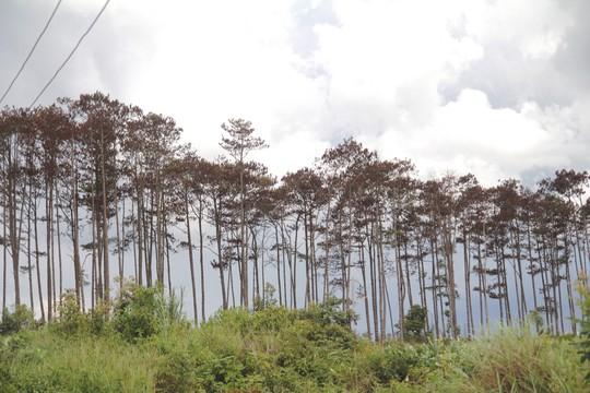 Rừng thông Lâm Đồng tiếp tục bị đầu độc, chết đứng - Ảnh 8.